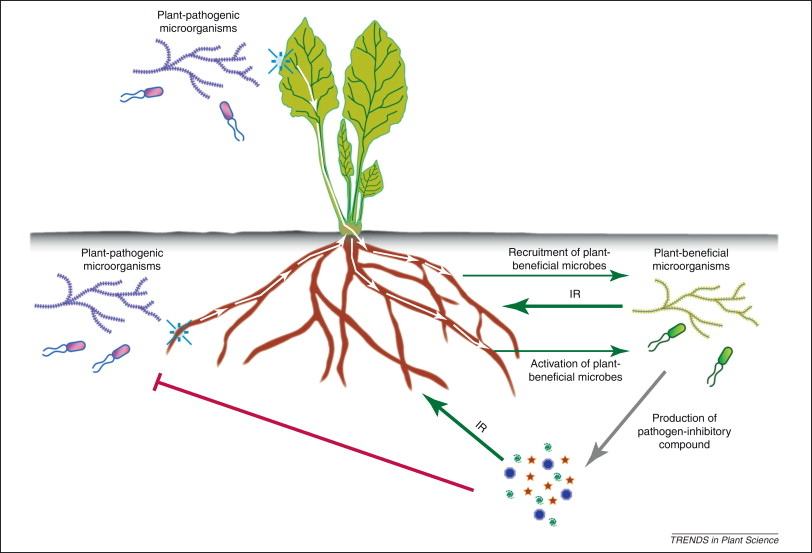 The rhizosphere microbiome and plant health - ScienceDirect