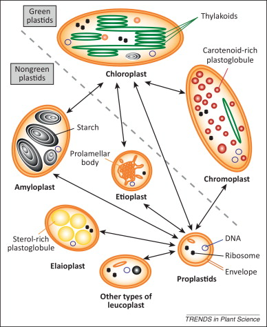 1 s2.0 S136013851300232X gr2 plastids with or without galactoglycerolipids sciencedirect
