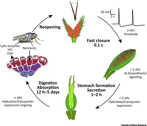 venus flytrap how an excitable carnivorous plant works sciencedirect rh sciencedirect com Conifer Life Cycle Diagram Venis Fly Trap Life Cycle