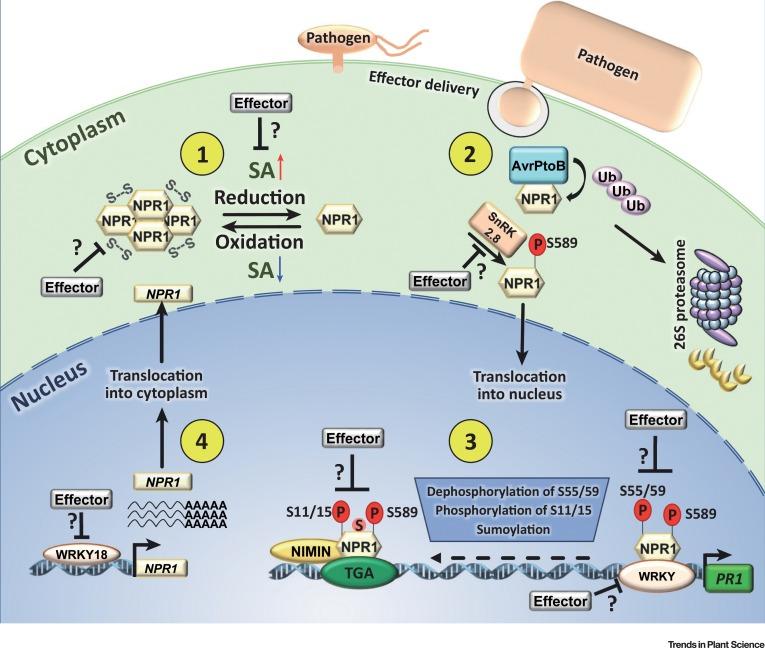 Npr1 In Jazzset With Pathogen Effectors