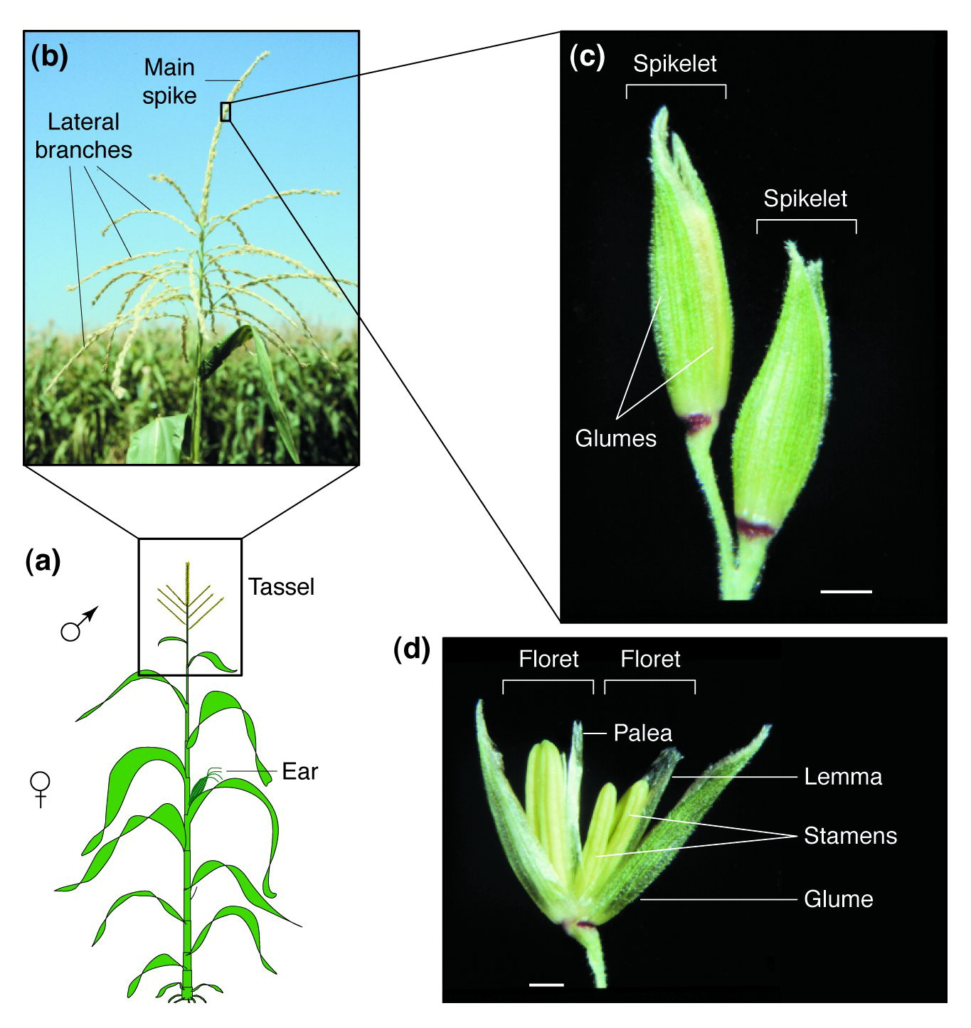 A floret by any other name control of meristem identity in maize download full size image ccuart Images