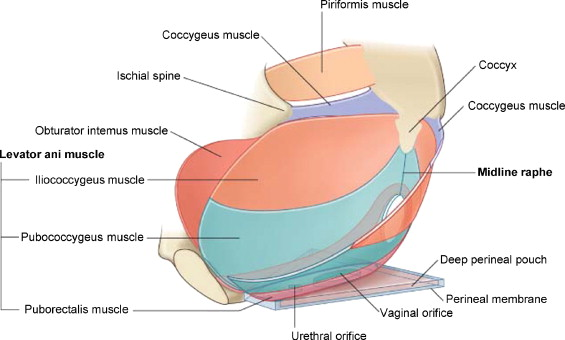 The Pelvic Floor Muscles (from Grayu0027s Anatomy For Students, ...
