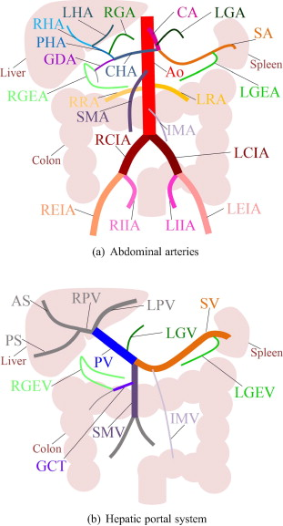 Automated anatomical labeling of abdominal arteries and hepatic ...