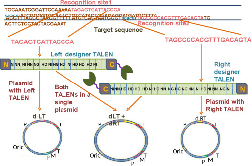 Genome engineering for breaking barriers in lignocellulosic