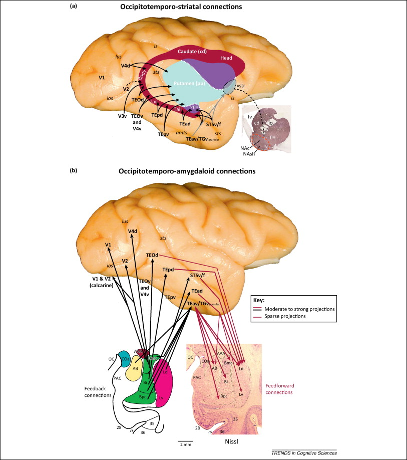 The ventral visual pathway: an expanded neural framework for the ...