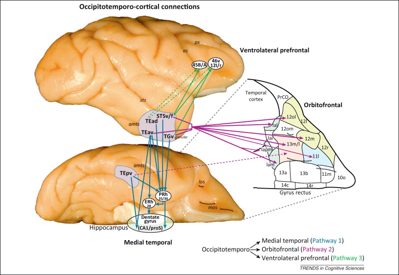 The Ventral Visual Pathway An Expanded Neural Framework For The