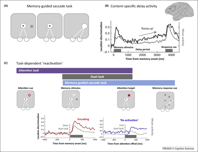 Research Working Memory Is Key To Early >> Activity Silent Working Memory In Prefrontal Cortex A Dynamic