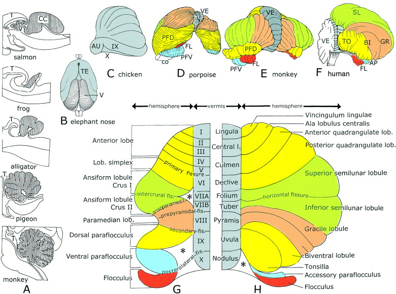 The Anatomy Of The Cerebellum Sciencedirect