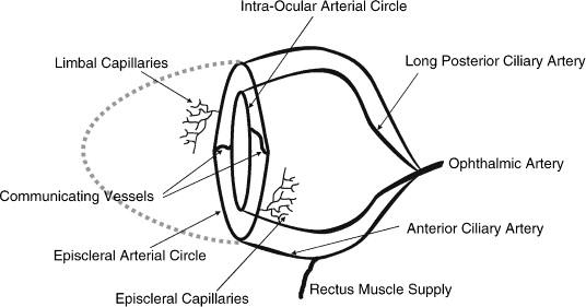 The Limbal Vasculature Sciencedirect
