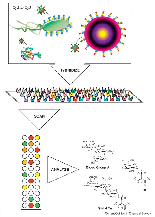 Dot by dot: analyzing the glycome using lectin microarrays