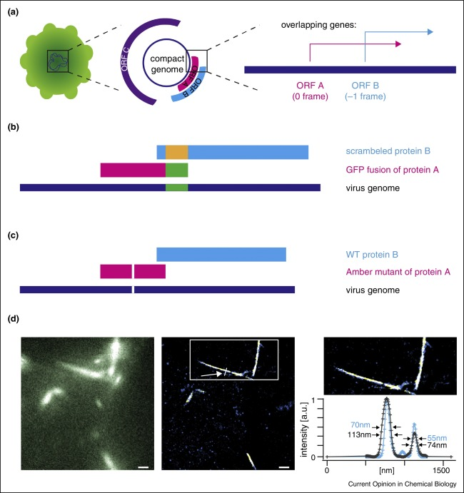 Genetic code expansion enabled site-specific dual-color