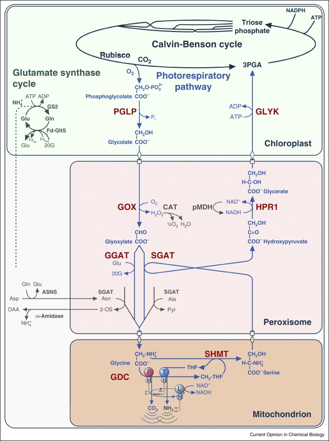 Photorespiration And The Potential To Improve Photosynthesis
