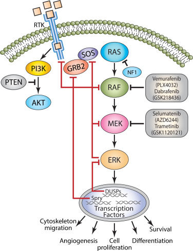 The ERK cascade inhibitors: Towards overcoming resistance
