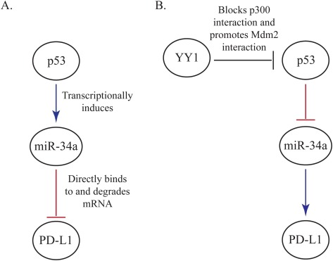 YY1 regulates cancer cell immune resistance by modulating PD