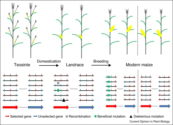 Patterns of genomic changes with crop domestication and