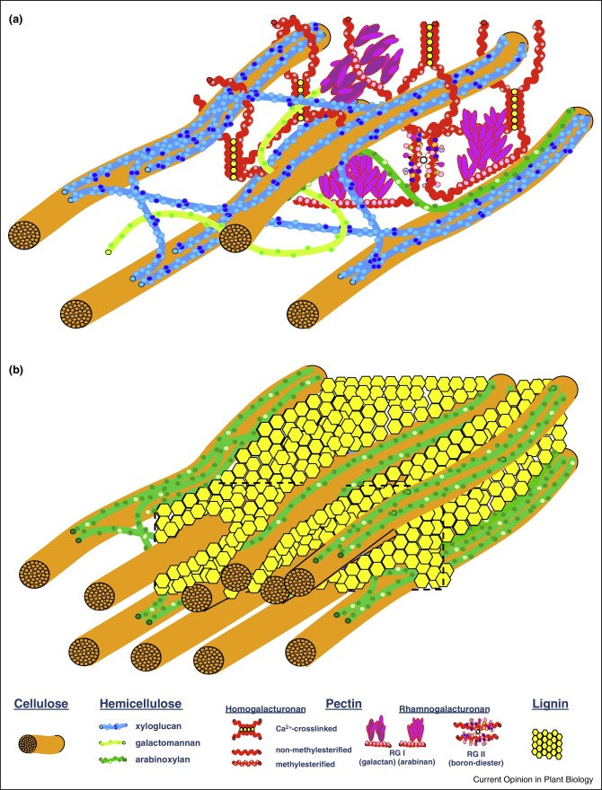 Engineering of plant cell walls for enhanced biofuel production download full size image figure 1 schematic models of plant cell walls ccuart Image collections