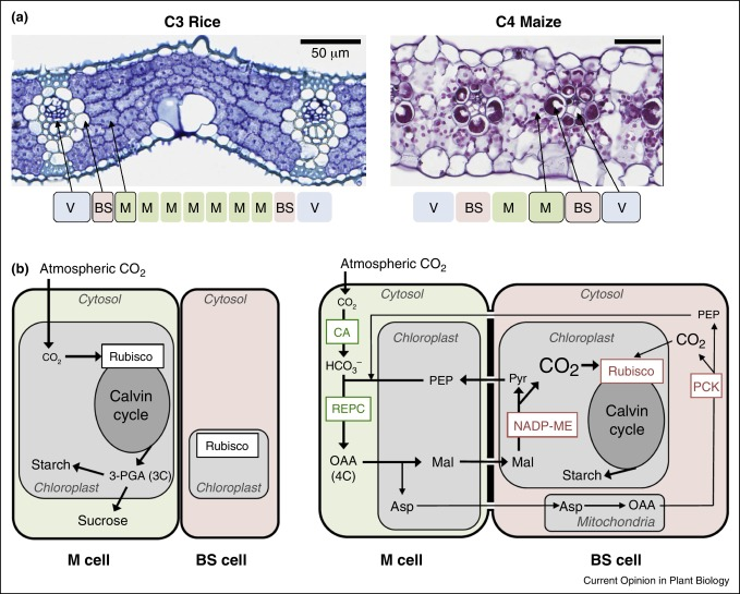 Insights Into The Regulation Of C4 Leaf Development From Comparative