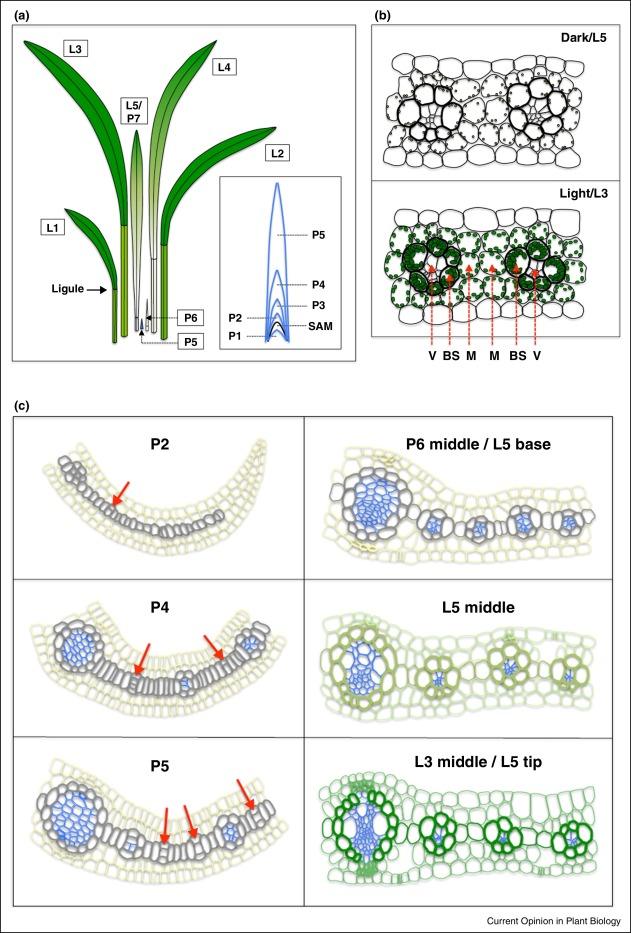Finding The Genes To Build C4 Rice Sciencedirect