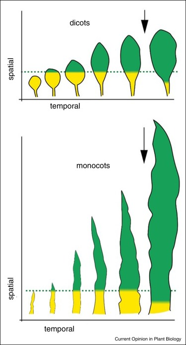 Leaf Growth In Dicots And Monocots So Different Yet So