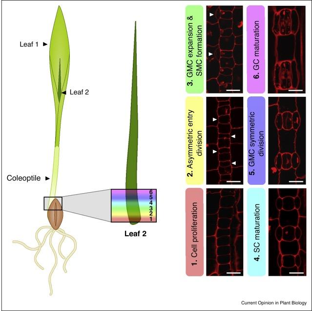 Stomatal development: focusing on the grasses - ScienceDirect