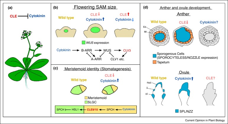 Cytokinin and CLE signaling are highly intertwined