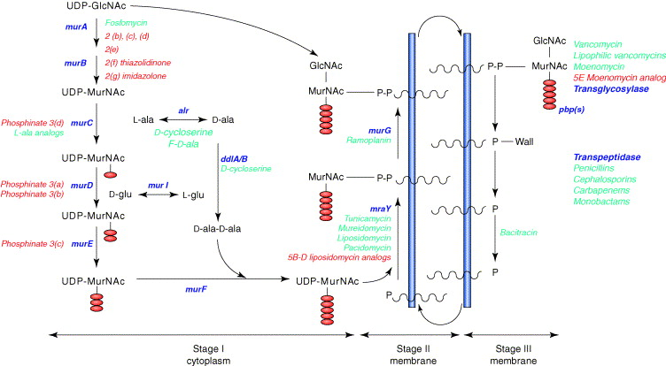 Novel inhibitors of bacterial cell wall synthesis