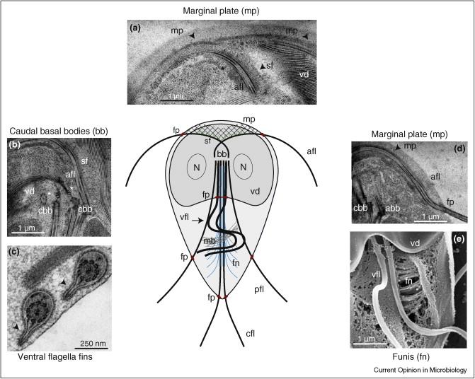Giardia kod pasa lijecenje - Giardiasis kód - A flagella giardia gyógyulási ideje