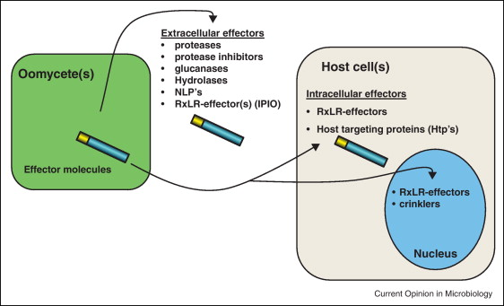 Secretion, delivery and function of oomycete effector