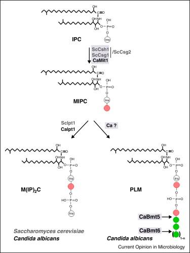 Mannosylation of fungal glycoconjugates in the Golgi apparatus