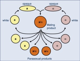 Parasexual