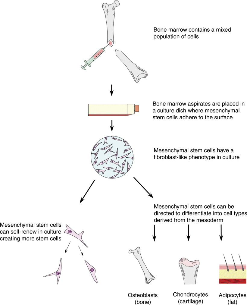 Scaffolds for stem cells sciencedirect download full size image fig 1 diagram demonstrating how adult stem cells ccuart