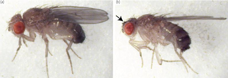 drosophila melanogaster model organism