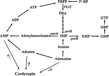 metabolisme-de-la-cordycepine-cordyceps