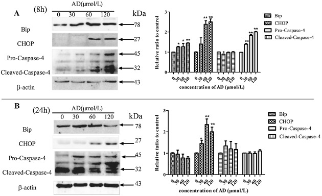 Andrographolide-induced apoptosis in human renal tubular epithelial