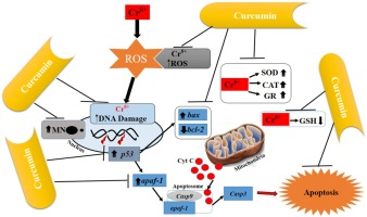 A protective study of curcumin associated with Cr6+ induced