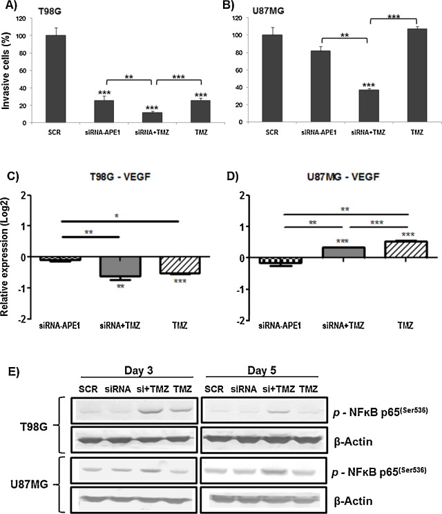 Ape1ref 1 down regulation enhances the cytotoxic effects of down regulation of ape1 gene inhibits cell invasion in vitro in gbm cells and changes the vegf transcriptional expression and nfb p65ser536 protein ccuart Image collections