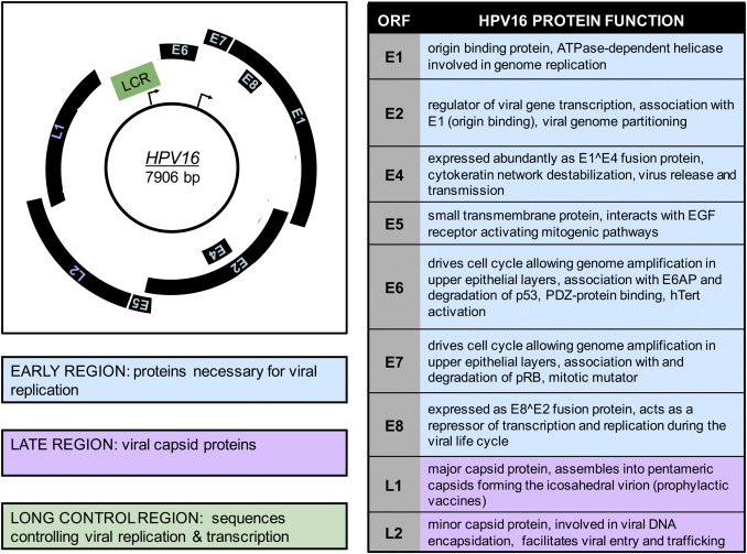 31 Viral Proteins The Early HPV