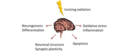 Effects of ionizing radiation on the mammalian brain sciencedirect download full size image ccuart Image collections