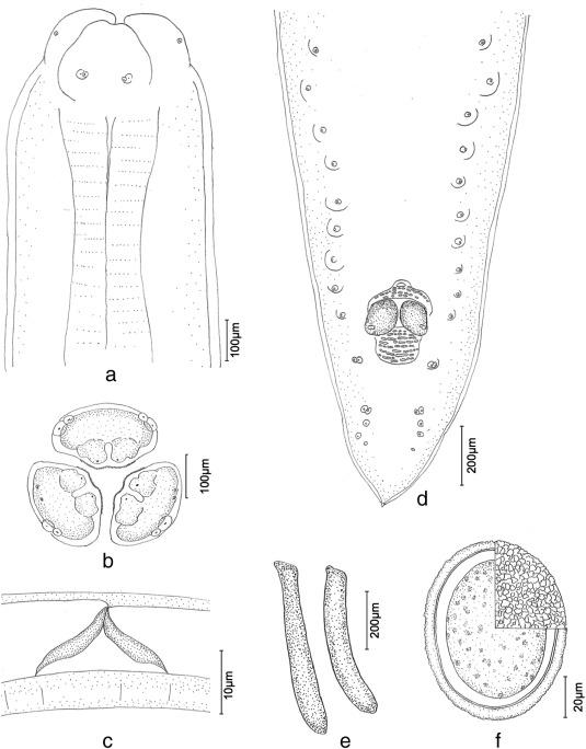 Baylisascaris Potosis N Sp A New Ascarid Nematode Isolated From