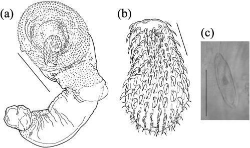 acanthocephala helminthum rendszer