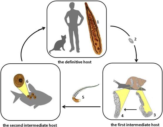 opisthorchiasis diphyllobothriasis)