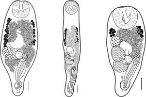 Three new species of Prosorhynchoides (Digenea: Bucephalidae) from