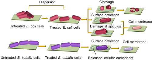 Single-cell analysis of the disruption of bacteria with a