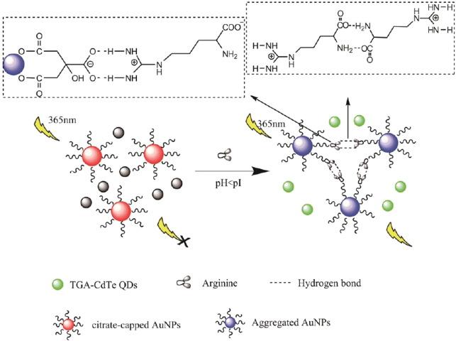 Sensitive arginine sensing based on inner filter effect of Au