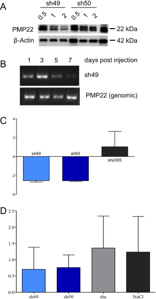 p192 small hairpin rna against pmp22 is effective in vitro but RNA Stem-Loop download full size image