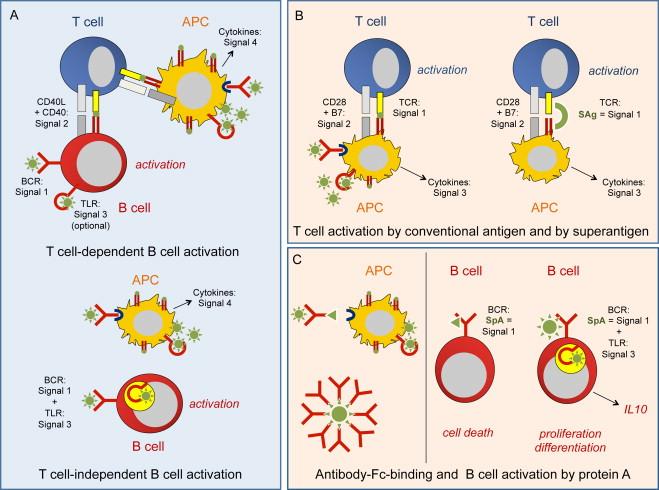 Immune control of Staphylococcus aureus – Regulation and