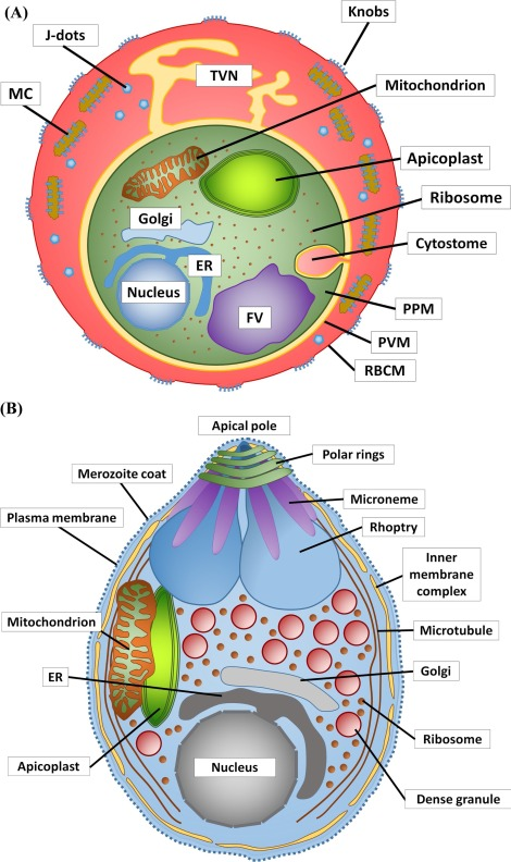 Phospholipases during membrane dynamics in malaria parasites