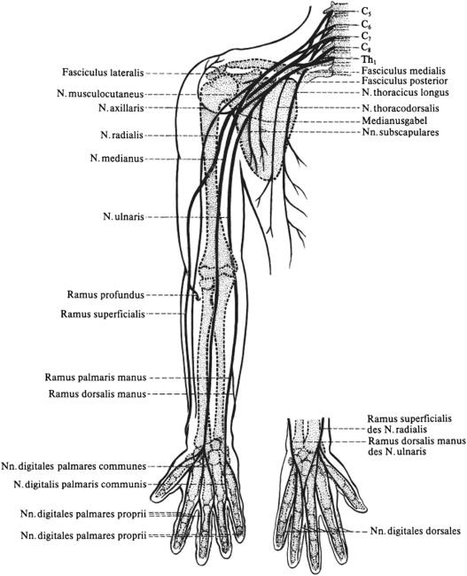 Anatomie der gängigen Nerven - ScienceDirect