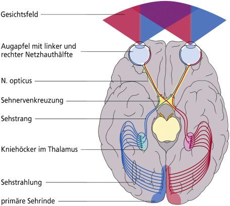 Die Hirnnerven Systematik und Bedeutung für die klinische ...
