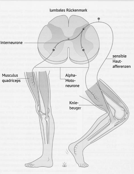 Das Rückenmark. Funktionelle Anatomie und Bedeutung für die ...